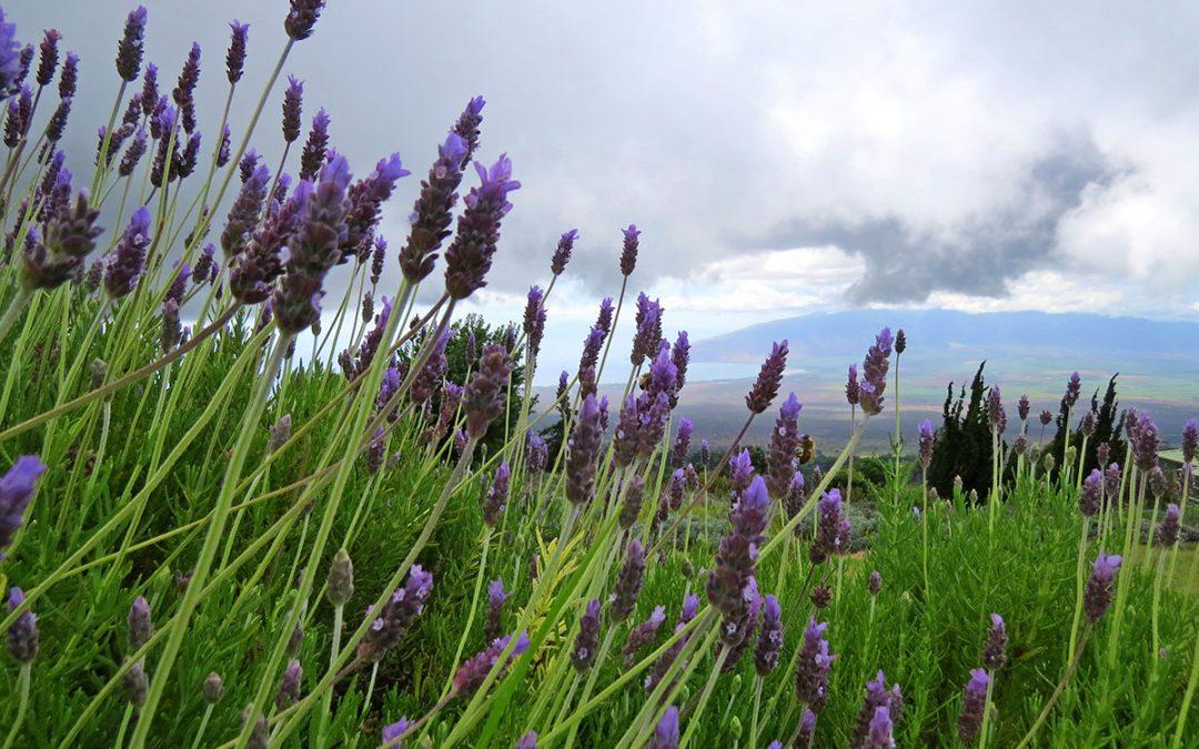 Lavender Grey